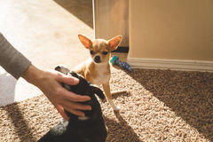 Chihuahua puppy watches another chihuahua get attention stock photo