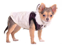 Chihuahua puppy wearing coat for cold weather Stock Photography