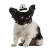 Chihuahua puppy wearing a cowboy hat (2 months old) Stock Images