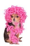 Chihuahua puppy wearing curly hat and scarf Royalty Free Stock Photography