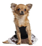 Chihuahua puppy wearing dress, 6 months old Stock Photography