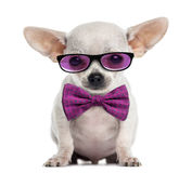 Chihuahua puppy wearing glasses and a bow tie Royalty Free Stock Photography