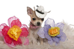 Chihuahua puppy, wearing hat Royalty Free Stock Photo