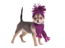 Chihuahua puppy wearing hat and scarf Royalty Free Stock Photo