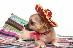 Chihuahua puppy wearing  Mexican hat and red collar Stock Images