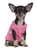 Chihuahua puppy wearing pink, 4 months old Royalty Free Stock Photo
