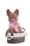 Chihuahua puppy wearing pink beas in basket Royalty Free Stock Photo