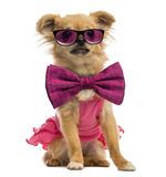 Chihuahua puppy wearing a pink shirt, glasses and a bow tie Royalty Free Stock Photos