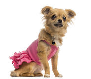 Chihuahua puppy wearing a pink shirt (6 months old) Stock Photography