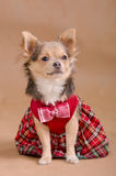 Chihuahua puppy wearing red chequered dress Stock Photography
