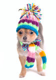 Chihuahua Puppy Wearing Scarf and Hat Royalty Free Stock Photo