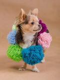 Chihuahua puppy wearing scarf with pompons Stock Photo