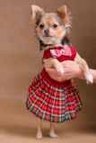 Chihuahua puppy wearing scottish style dress Royalty Free Stock Images