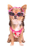 Chihuahua puppy wearing sunglasses and t-shirt Stock Images