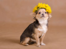 Chihuahua puppy wearing wreath of dandelion Stock Images