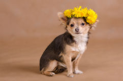 Chihuahua puppy wearing wreath of yellow flowers Royalty Free Stock Image