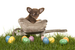 Chihuahua puppy in a wheelbarrow on a grass with colored easter eggs. On a white background Royalty Free Stock Images