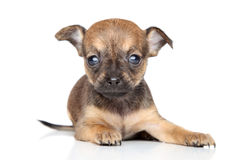 Chihuahua puppy on white background Royalty Free Stock Images
