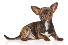 Chihuahua puppy on white background Stock Photography