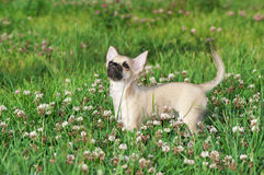 Chihuahua puppy among white clover flowers Stock Image