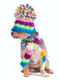 Chihuahua Puppy With Hat Pulled Over Eyes Royalty Free Stock Photo