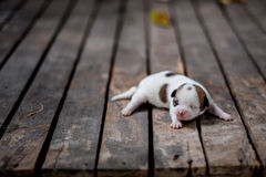 Chihuahua puppy on a wooden floor Royalty Free Stock Photography