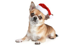 Chihuahua puppy in xmas red cap Stock Photography