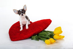Chihuahua puppy with yellow tulips and red heart Stock Photography
