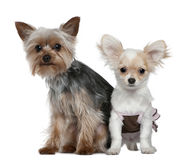 Chihuahua puppy and Yorkshire terrier stock image