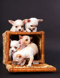 Chihuahua puppys play to cart Stock Images