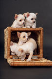 Chihuahua puppys play to cart Royalty Free Stock Photography