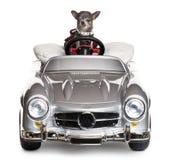 Chihuahua que conduz um convertible na frente de imagens de stock