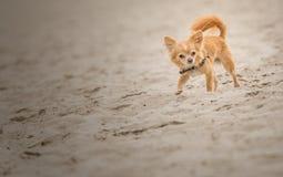 Chihuahua que corre en la playa imágenes de archivo libres de regalías