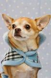 Chihuahua que desgasta um revestimento azul Imagem de Stock