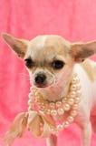 Chihuahua que desgasta uma colar da pérola Fotografia de Stock Royalty Free