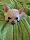 Chihuahua que dormita no regaço dos daddys foto de stock