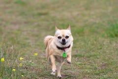 Chihuahua que funciona no prado fotografia de stock royalty free