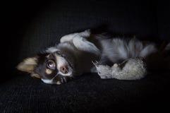 Chihuahua que miente en la suya detrás en la oscuridad Imagen de archivo libre de regalías