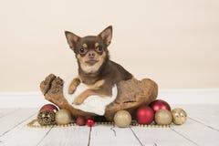 Chihuahua que miente en una cesta de madera rodeada con la Navidad diciembre foto de archivo