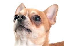 Chihuahua que mira para arriba el primer aislado Fotografía de archivo