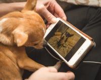 Chihuahua que olha a foto no telefone celular imagens de stock