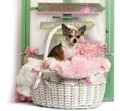 Chihuahua que se sienta delante de un fondo rústico Imágenes de archivo libres de regalías