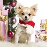 Chihuahua que se sienta desgastando una bufanda de la Navidad delante de decoraciones de la Navidad Fotos de archivo