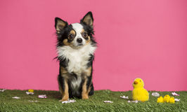 Chihuahua que se sienta en un paisaje de pascua Imagenes de archivo