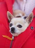 Chihuahua que senta-se no revestimento Imagens de Stock Royalty Free