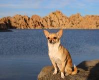 Chihuahua que senta-se pelo lago Fotografia de Stock