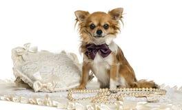 Chihuahua que veste um assento do laço, olhando a câmera fotografia de stock