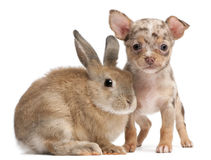 Chihuahua with a rabbit Stock Photo
