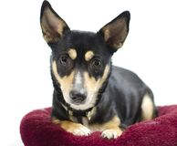 Chihuahua Rat Terrier mix dog, animal shelter adoption photography. Black and tan female mixed breed dog laying on red dog bed, white background. Pet adoption stock photos