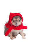 Chihuahua ready for winter Stock Images